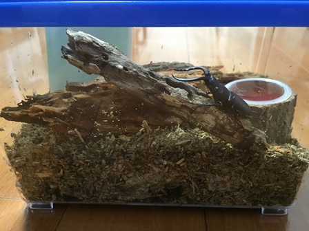 カブトムシ大好き武内の自宅で飼育しているノコギリクワガタ