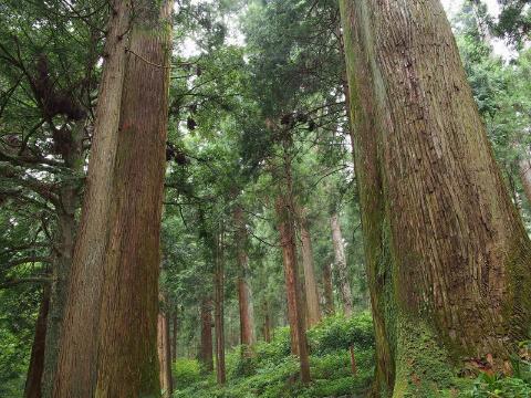 檜は他の木材(例:杉)よりも厳しい環境で生息する