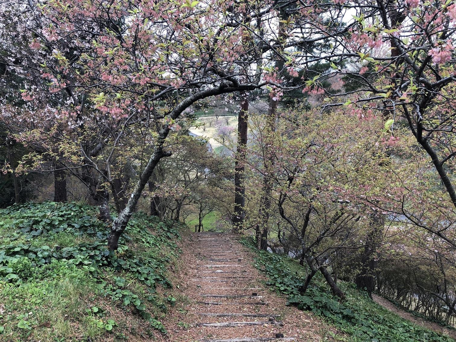 はままつフラワーパーク 桜