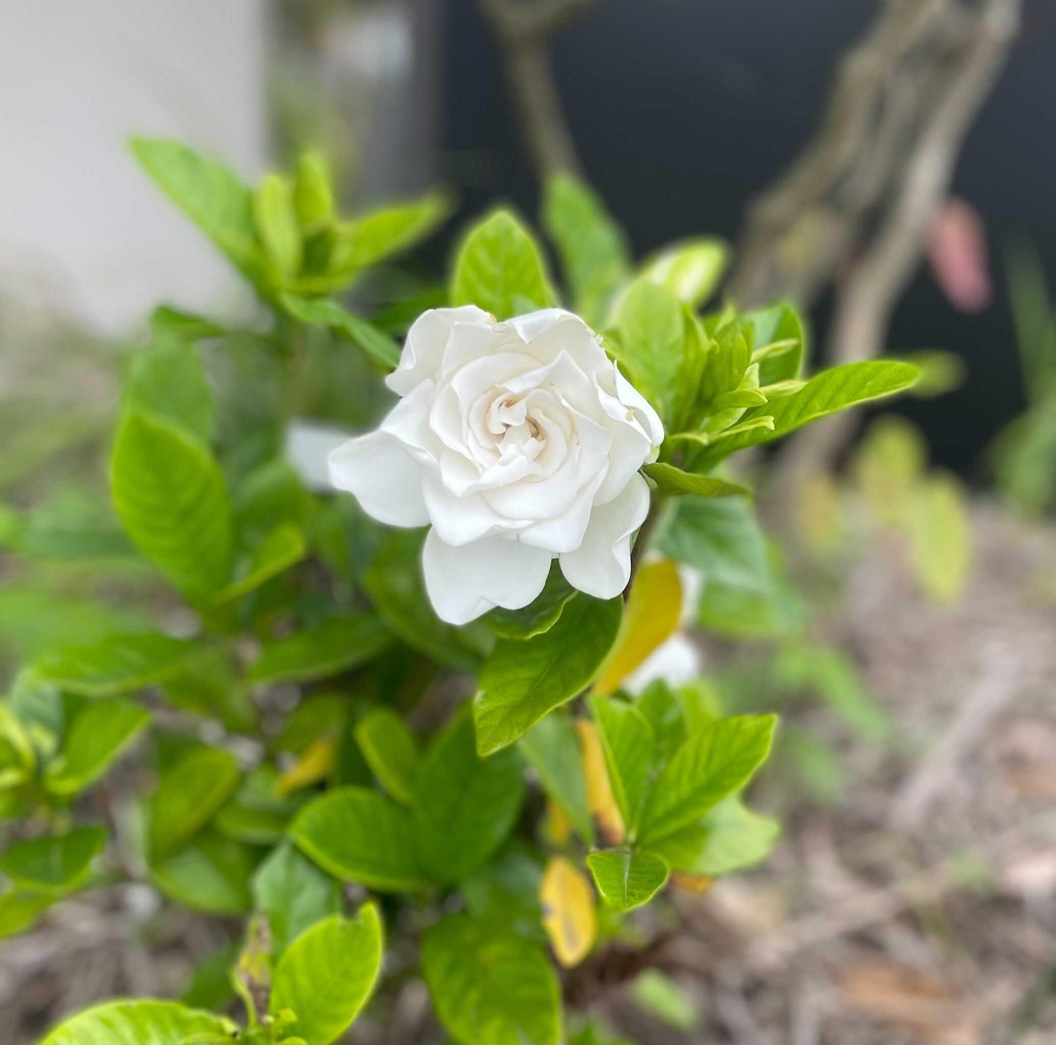 白い花の様子